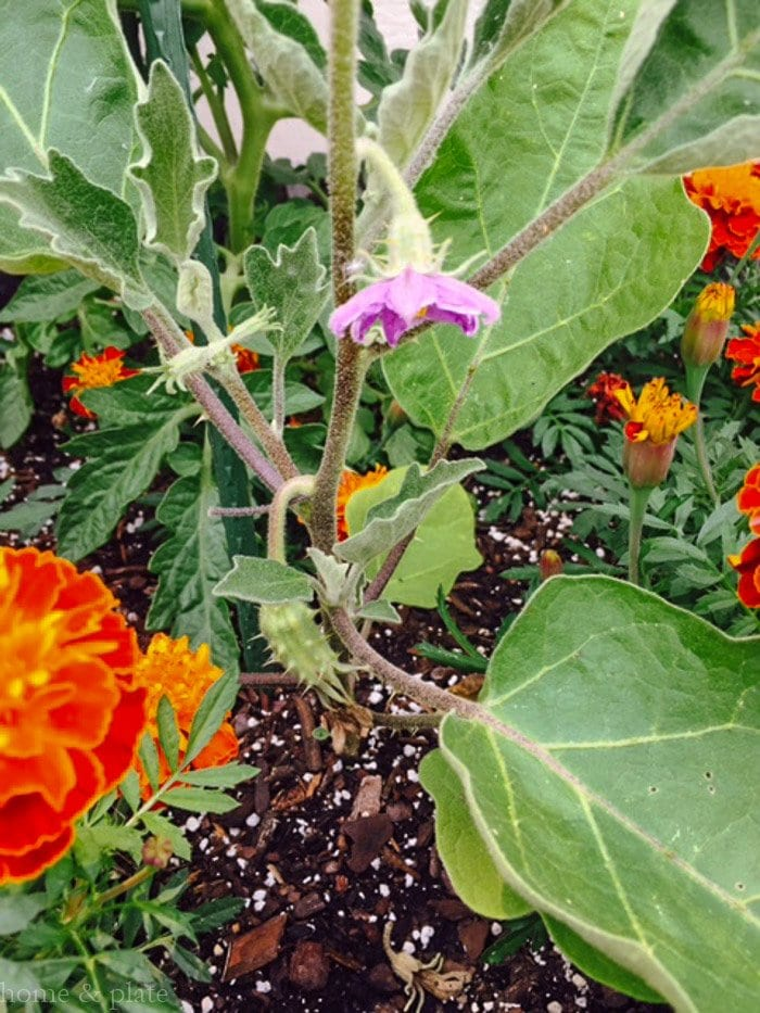 Simple Patio Container Gardens | Home & Plate | www.homeandplate.com | One eggplant has just lost its flower. Another is flowering and will soon fruit.