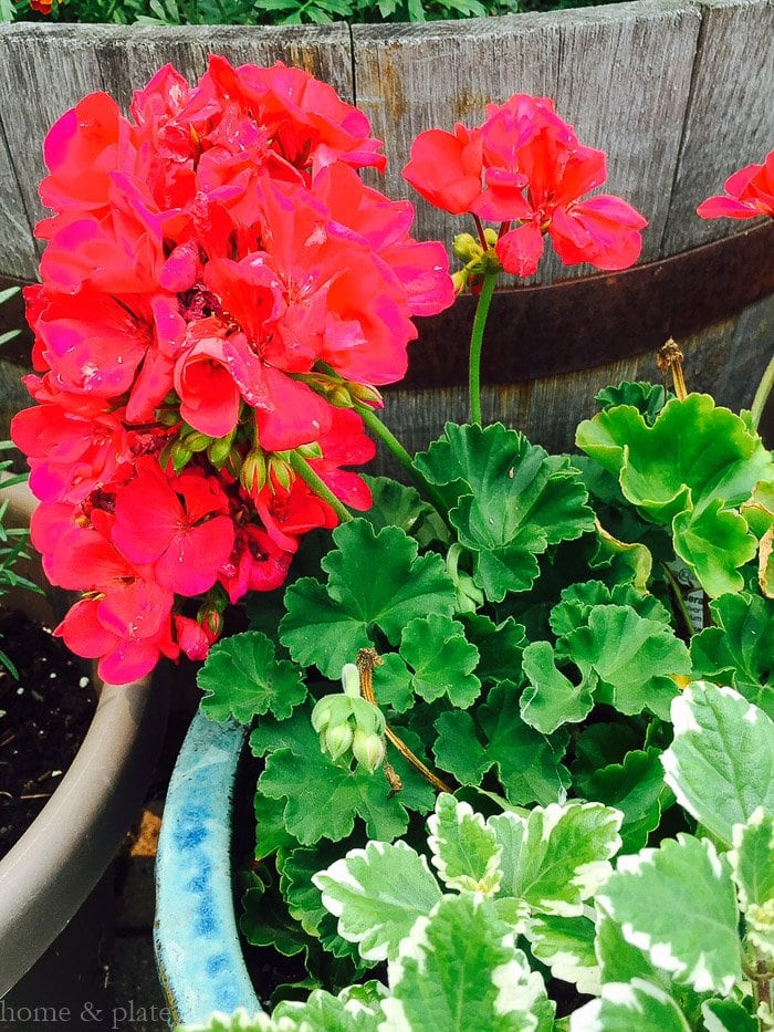 Simple Patio Container Gardens | Home & Plate | www.homeandplate.com | Pair geraniums with variegated plants.